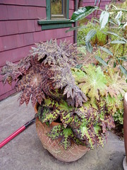 Pot of Podophyllum delavayii in Windcliff