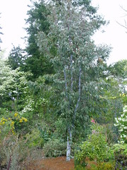 Eucalyptus from Windcliff