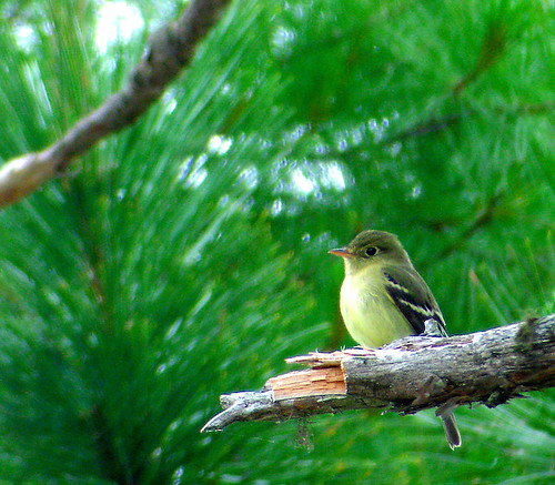 ybflycatcher03ME