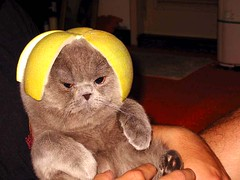 Cat with a Lemon Hat