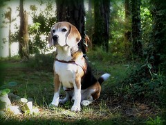 Beto en bosque (Betolandia) Tags: wood copyright beagle zombie hound pic perro cachorro ilegal canino beto beaglebeto betolandia langehrenzombienikeylikeit susanagrimaldisheridan langehren didyouknowthatitisillegaltostealpictures robarfotoses