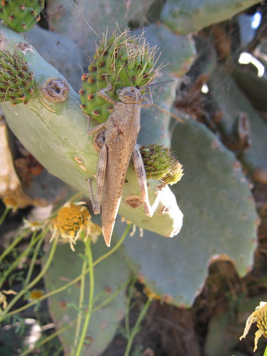 grasshopper on prickly pear