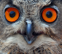 Owl About That (ozoni11) Tags: bird nature birds animal animals nikon bravo owl d200 soe owls birdsofprey abw naturesfinest parkstock featheryfriday interestingness170 i500 specnature animaladdiction specanimals animalkingdomelite abigfave shieldofexcellence anawesomeshot ozoni11 avianexcellence diamondclassphotographer flickrdiamond amazinglybeautifulworld