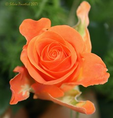 Rose III (Sysy *) Tags: orange flower primavera nature rose canon spring may rosa natura 1855 fiore soe maggio 1on1flowers sysy81 400d canoneos400d shieldofexcellence