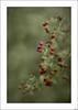 ¡Vaya con las bayas! (V- strom) Tags: naturaleza flora rojo verde texturas nikon nikon2470 nikon50mm