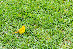 Cute yellow bird (denschub) Tags: mozaloha waikoloavillage hawaii unitedstates us