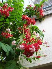 Flower 2 (kvkv) Tags: creeper malli rangoon indica quisqualis