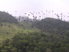 Wax palms Colombia Armenia Quindio Latin America Cocora valley