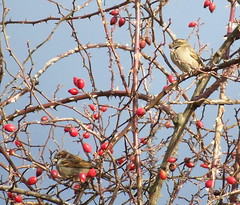 Sparrows on Russia Walk