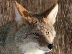 Coyote_Crop - by ru_24_real