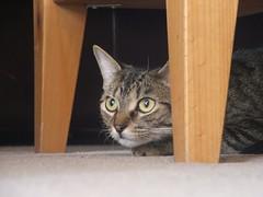~~Roxxxy~~ (smokegirlmallory) Tags: cat kitten lol kitty roxy hairypussy myperfectpussy