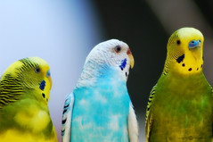 You said WHAT? (Melissa_A) Tags: color bird nature birds zoo wings colorful searchthebest outdoor feathers parakeet budgies melissaa splendiferous abigfave flickrgold impressedbeauty superbmasterpiece