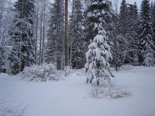 Tuulan oma kuva pihapuustaan by Anna Amnell