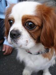 Big eyes (tanakawho) Tags: dog pet white cute eye animal nose king fluffy charles cavalier spanielbrown