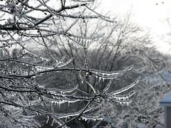 icy crabapple