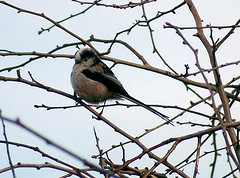 Long-Tailed Tit in Stave Hill Ecology Park