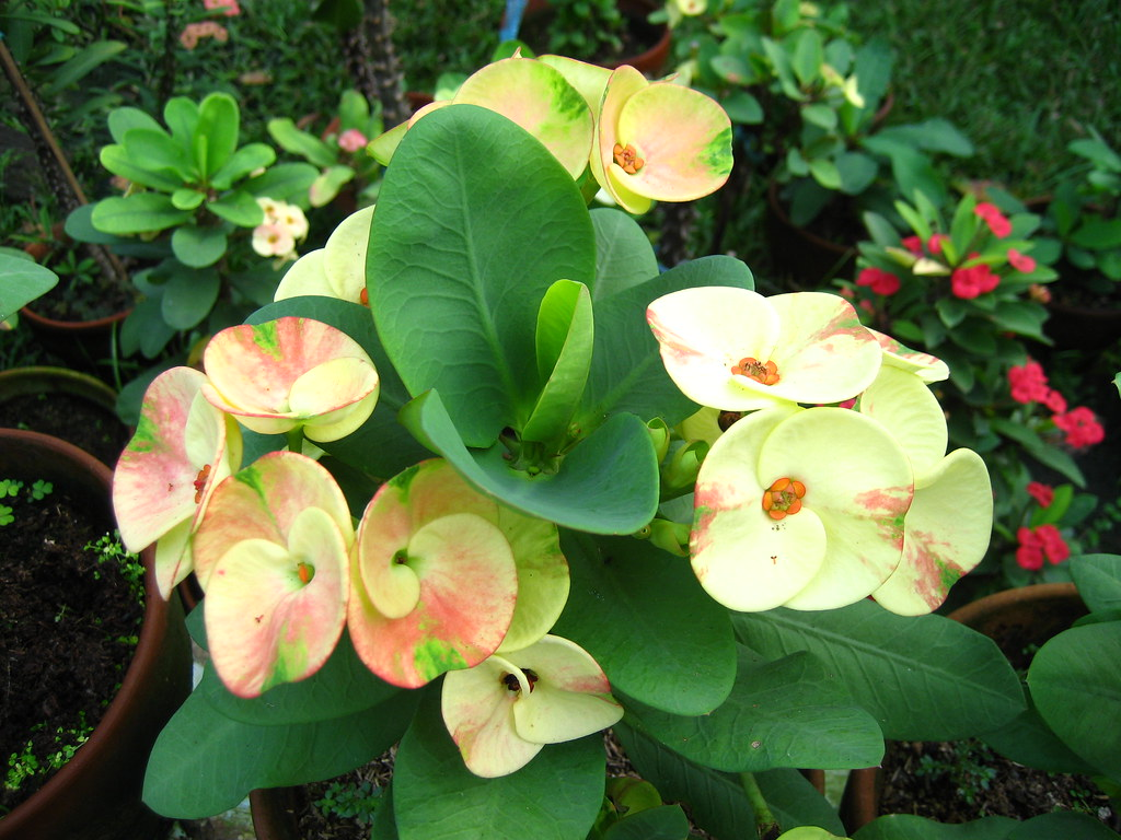 Tropical plant Euphorbia 001