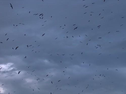 07zc-TaiaroaSeagulls