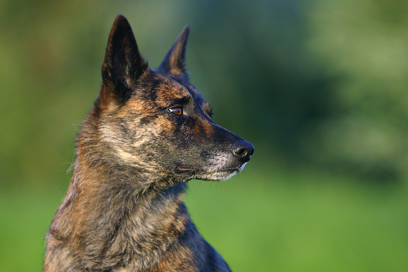 Belgian Malinois Dutch...
