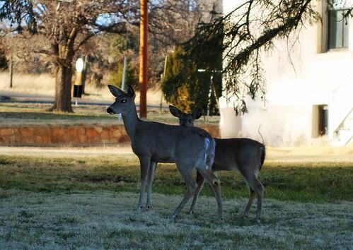Dual Deer