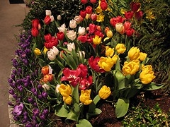 Central Mass Flower Show (Heartlover1717) Tags: centralmassachusettsflowershow centralmaflowershow flowershow tulips crocus yellow red pink violet white striped