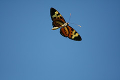 Borboleta - Butterfly 239 - 9 (Flvio Cruvinel Brando) Tags: brazil sky naturaleza color nature colors animal animals braslia azul brasil butterfly cores out insect ilovenature flying colorful natureza flight butterflies insects cu inseto borboleta urbannature brazilian animais cor flvio impressive borboletas vo insetos colorida cus voando colorido coloridas cudebraslia animaladdiction flviocruvinelbrando ocudebraslia butterfliesinflight anawesomeshot colorphotoaward wowiekazowie top5butterflies