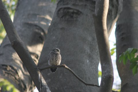 Spotted owlet Lalbagh 7 Mar 07 two