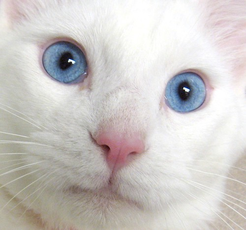 Blåögd katt