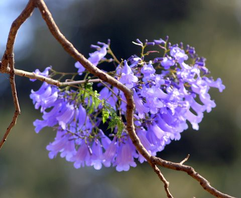 Jacaranda blooms
