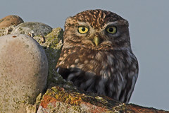 MOCHO GALEGO (Sparkyfaisca) Tags: bird portugal nature birds zeiss birding birdsinportugal avesemportugal aves ornithology digiscoping birdwatching birdofprey digiscope littleowl athenenoctua itsonginvite sparkyfaisca impressedbeauty avianexcellence diascope