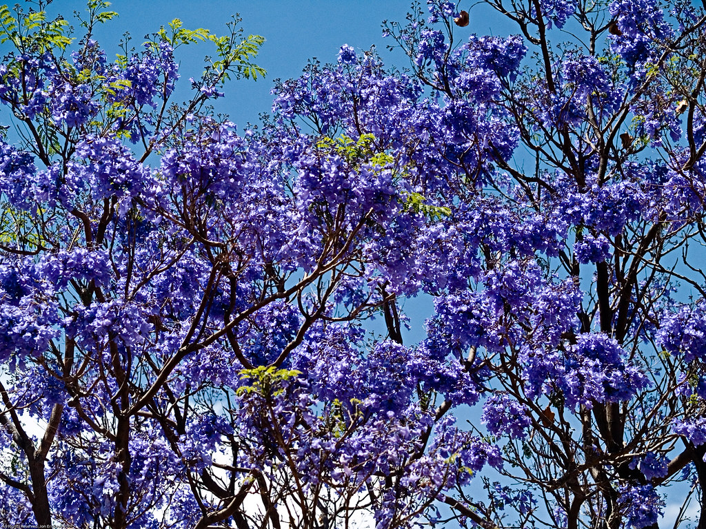 Jacaranda in bloom 1