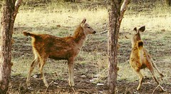 Chital calf: alarmed and in flight
