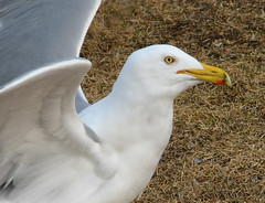 Gull waiting for a handout. (photoholic1) Tags: ocean sea white bird nature animal ilovenature gull seabird naturescall avianexcellence treeofhonor