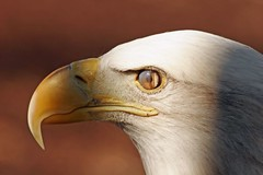 Ever see an eagle blink ?? - by Picture Taker 2