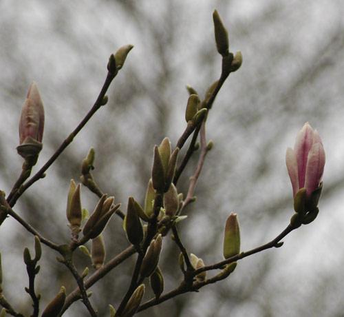 magnolia 3-17-07