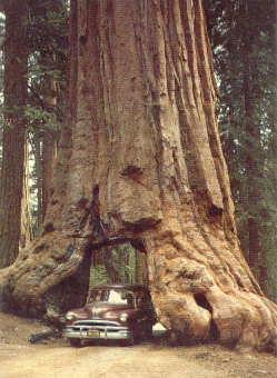Drive thru tree postcard ephemera nationalpark park sequoia national