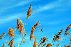 Tall Golden Grass