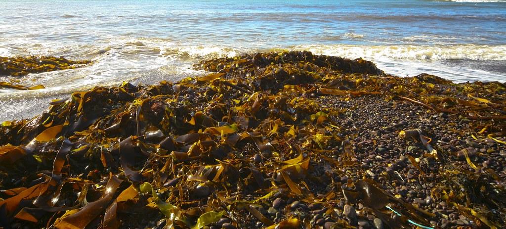 SEAWEED ON BEACH - COUNTY KERRY, IRELAND