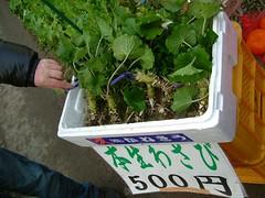 / wasabi (moreikura) Tags: food green festival japan river spring fresh   wasabi izu        cherryblossomsgreen