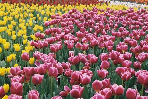 Tulips - multicolor sea