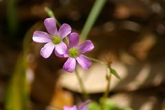 Pretty little wild flowers (Flutterbye_856) Tags: light bokeh lavender weeksbay prettywildflowers