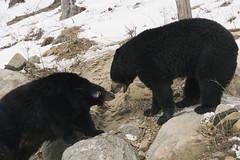 Black bears arguing (Savetigers81) Tags: bear winter snow canada black nature animal mammal fight quebec predator captive preserve
