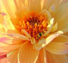 Camouflaged (aussiegall) Tags: dahlia autumn flower macro bug garden petals ladybird ladybug pollen ladybeetle naturesfinest interestingness48 flickrgold