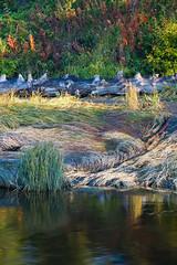 Bishop Creek Reeds