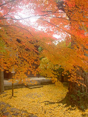 Autumn colored (Marie Eve K.A. (Away)) Tags: pictures travel autumn trees red plants colour nature leaves yellow japan garden landscape temple maple kyoto    soe naturesfinest colorphotoaward  superbmasterpiece picturesofjapanlandscape