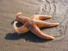 Star Fish (sanna82) Tags: ireland beach starfish curracloe