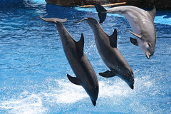 Dolphin Three (Sharons_Web) Tags: nature water animal swimming mammal inflight dolphin photobook amusementpark faves seaworld naturesfinest blueribbonwinner 5074 btld superhearts