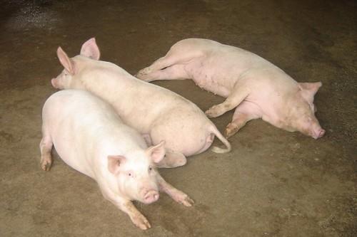 Lon- pigs