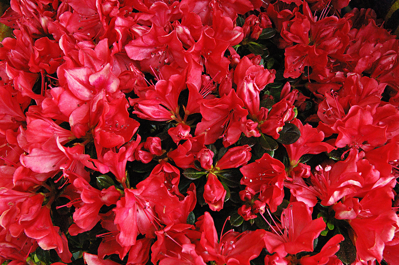 Flower Wallpaper Free Red Flower Name