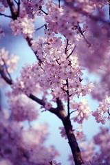 Blossom (Emily Quinton) Tags: pink spring birmingham blossom bokeh bluesky moseley canonhillpark bigpicture2008